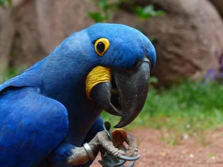 bird blue zoo large
