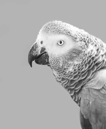 grayscale photography of african grey parrot